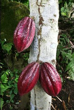 Sao Tome cocoa beans: the importance o biodiversity for a true pleasure. The importance of the superior quality of the local cocoa varieties to boost the island economy http://thinkafricapress.com/sao-tome-principe/co-operative-cocoa-production