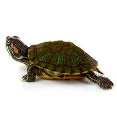 Baby red ear slider turtles for sale. Largest selection of captive breed baby turtles for sale. Fast Ups shipping anywhere in the United States. Itesms for sale check them out Sulcata Tortoise For Sale, Tortoise As Pets, Tortoise Food, Tortoise Care, Baby Turtles For Sale, Cute Turtles, Reptiles, Lizards, Amphibians