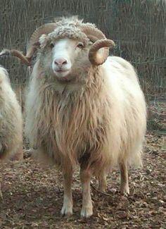 Handsome ram
