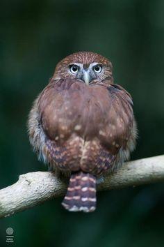 Previous Pinner - A Pygmy Owl I met in Honduras ... coolest little guy!