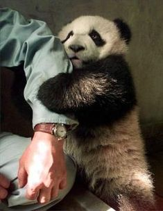 Who could resist this scared darling Panda? I love Pandas.