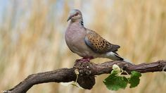 European Turtle dove Photo by Carlos Rio — National Geographic Your Shot