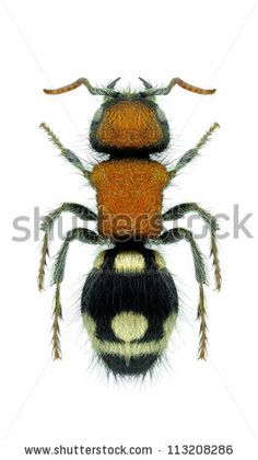 Wasp Ronisia brutia (female) on a white background - stock photo
