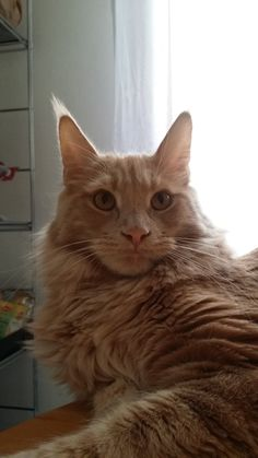 Maine coon Sole, The lion King 2