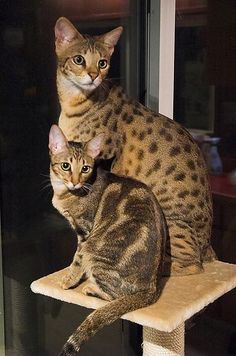 Mondo of Kirembo Savannahs and his friend by bcowell, via Flickr #SavannahCat