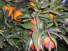 arbol de naranjas sanguina - Buscar con Google