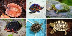 22 Most Unique and Colorful Turtles which are really exist in the world - The Day Collections Animals And Pets, Baby Animals, Cute Animals, Kinds Of Turtles, Baby Sea Turtles, Tortoise Turtle, Tortoises, Wildlife Photography, Reptiles