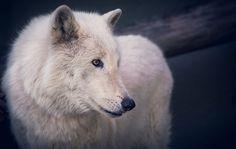 Superbe loup blanc <3 <3 <3 <3