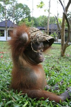 Sitting pretty, but for how much longer? The barrow-load of orphaned baby orang-utans | Mail Online