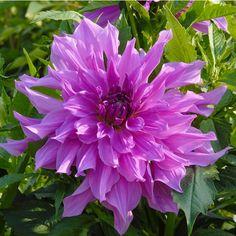Dahlie 'Lavender Ruffles' - Wunderschöne große und zugleich sympathisch zerzauste Blüten mit einer prachtvollen lila Farbe. Pflanzzeit für die Knollen ist im Frühling - online erhältlich bei www.fluwel.de