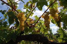 #Trebbiano #Grapes ready for #harvest.