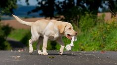 Your Labrador puppy vaccination questions answered in our puppy vaccination FAQ
