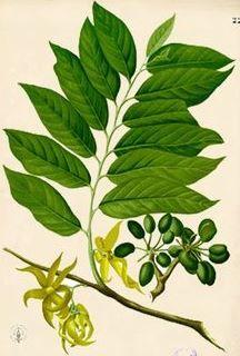 Ylang-ylang (Cananga odorata)