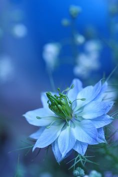 ~~love in a mist by hanabi.~~