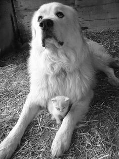Great Pyreneese dog..many use this dog as a herd watcher. This dog will stay with the herd and predators, especially coyotes, will leave the sheep alone if these dogs are in the flock. They use white ones to keep a type of camoflauge for surprising predators, giving the dog an advantage of the elment of surprise