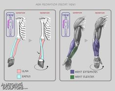 Arm pronation front view ✤ || CHARACTER DESIGN REFERENCES | キャラクターデザイン • Find more at https://www.facebook.com/CharacterDesignReferences