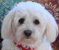 Check out Chloe Ann's profile on AllPaws.com and help her get adopted! Chloe Ann is an adorable Dog that needs a new home. https://www.allpaws.com/adopt-a-dog/maltese-mix-poodle-miniature/3818179?social_ref=pinterest