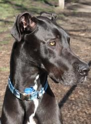 Frank is an adoptable Great Dane Dog in Waterville, OH. Frank is a 2 yr. old neutered male Great Dane. He was surrendered to the rescue because he chased the cats. He is good with children and other d. Great Dane Rescue, Great Dane Dogs, Children, Cats, Animals, Young Children, Boys, Gatos, Animales