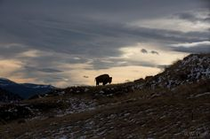Awesome! MRT @USFWSMtnPrairie A lone bison makes for a stunning scene at the National #BisonRange