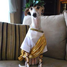 """""""da vinci, our italian greyhound, as julius caesar."""" First of all, what an ADORABLE name for an Iggy! Second, what an adorable costume! He's not one of mine lol) Pet Costumes, Couple Halloween Costumes, Unique Costumes, Pirate Costumes, Costume Ideas, Toga Costume, Animal Dress Up, Toga Party, Animal Costumes"""
