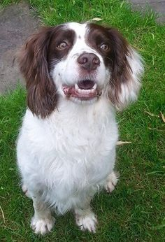 Name; Switch, Breed: English Springer Spaniel
