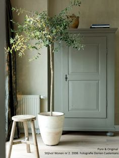 Indoor tree in a white clay pot, against fresco lime painted walls | Pure Original