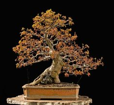 Bonsai Photo The Day 1/3/2018 – BonsaiJack.com #bonsaijack #bonsai