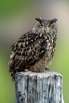 Eurasian Eagle-Owl (Bubo bubo) by Jean-Claude Sch. on 500px