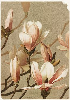 Magnolia Title: Magnolia Creator/Contributor: Fisher, Ellen T. Prang & Co. (publisher) Date issued: Copyright date: 1886 Physical description note: Genre: Chromolithographs; Still life prints Location: Boston Public Library, Print Department Vintage Botanical Prints, Botanical Drawings, Botanical Flowers, Botanical Art, Silk Flowers, Art Floral, Flower Images, Flower Art, Poster Mural