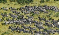 Grupo de Cebras en África.