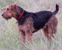 Baş ve kulaklar kahverengi hafif bir ton koyu olması ile tüm vücuda oranla daha açık bir renktedir.  Boy uzunlukları 56 ila 62 cm arasında değişirken, ağırlıkları ise 18 ila 30 g arasında değişmektedir. Ortalama olarak her bir doğumda 9 yavru vermektedir.  Yaklaşık olarak 10-12 yıl yaşayabilen bu ırk aslında önceleri Waterside ve Bingley Terrier olarak biliniyordu. Yaklaşık bir asır önce keşfedilen bu ırk önceleri fare avlamada kullanılırken daha sonra