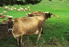 Cows out in the pasture -