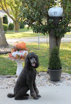 Harvard Pierre likes his play area decorated for fall. #poodles