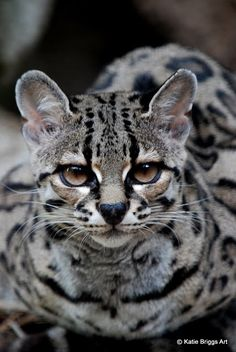 ~~ Margay Cat by KatieBriggsArt ~~