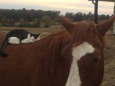 Friendship   Sappy the cat and Dakota the horse