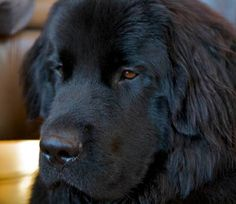 My Digby dog. Love newfies.
