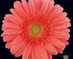 Terra Regina - Gerbera - Flowers and Fillers - Flowers by category | Sierra Flower Finder