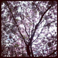 """""""under a cherry tree"""" Bild von hannes cmarits jetzt als Poster, Kunstdruck oder Grußkarte kaufen.. Cherry Tree, Woods, Poster, Trees, Celestial, Outdoor, Art Print, Photo Illustration, Outdoors"""
