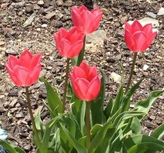 Little Pink Tulips (opened)