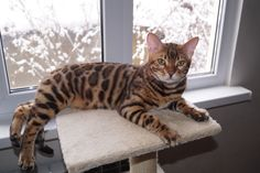 For sale a beautiful male Bengal kitten Orion