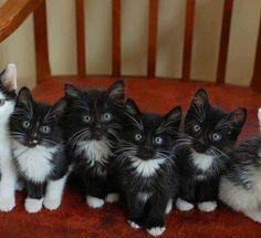 tuxedo kittens,