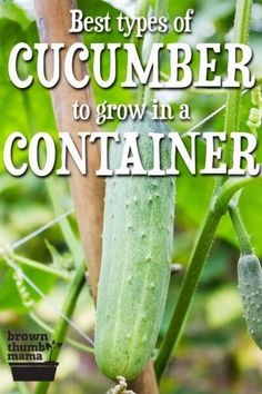 You can grow cucumbers in a container garden! Here are the six types of cucumber that will thrive and produce a huge harvest in pots or containers. # container Gardening Best Types of Cucumber to Grow in Containers Container Herb Garden, Container Gardening Vegetables, Container Plants, Vegetable Gardening, Cucumber Plant, Cucumber Trellis, Grow Cucumber, Gardening For Beginners, Gardening Tips