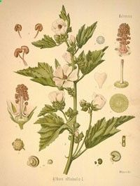 marshmallow root herb- for coughs, sore throat, gastro issues and weight loss. useful in external issues too