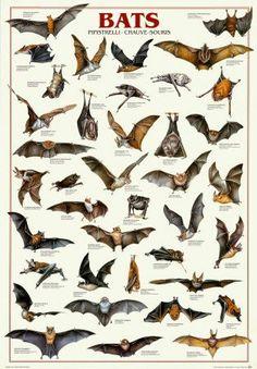 Halloween Science: Bat Species Chart