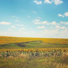 South Dakota sunflowers!