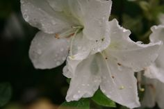 White Azalea's after the rain