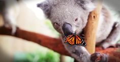 This precious Koala found a new friend in this butterfly. Seeing these two play is so precious! What a beautiful connection between God's creatures!