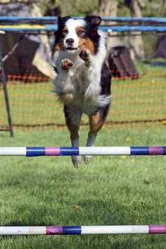 Cohen the Australian shepherd clearing the bars at an agility trial. From the blog Ci Da. #aussie