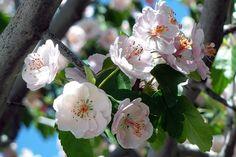 Imagen gratis en Pixabay - Cereza, Flor, Flores, Fresco