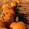 Pumpkins: Planting, Growing and Harvesting Pumpkin Plants